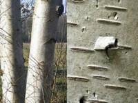 Berkenbast / Betula pubescens