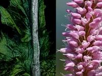 Adderwortel / Polygonium bistoria