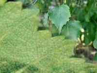 Berkenblad / Betula pubescens