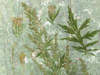 Bijvoet / Artimisia vulgaris