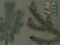 Dennentoppen / Pinus pinaster