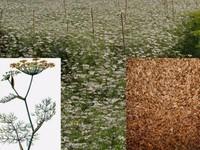 Dillezaad / Anethum graveolens