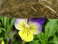 Driekleurig Viooltje / viola tricolor