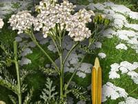 Duizendblad / Achillea millefolium