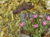 Duizendguldenkruid / Centaurium erythtae