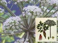 Engelwortel  / Angelica archangelica