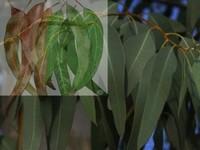 Eucalypthus / Eucalypthus globulus