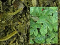 Frambozenblad / Rubus idaeus