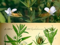 Genadekruid / Gratiola officinalis