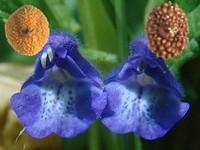 Glidkruid / Scutellaria  laterifola