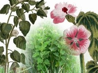 Heemst / Althaea officinalis.