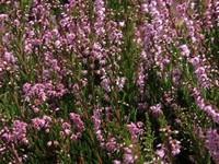Heide / Calluna vulgaris