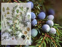 Jeneverbes / Juniperus communis