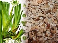 Kalmoeswortel / Acorus calamus
