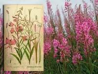 Kamille / Matricaria recutia