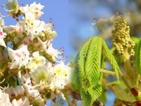 Kastanje bloesem / Aesculus hippocastanum