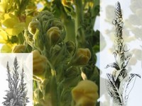Koningskaars / Verbascum thapus
