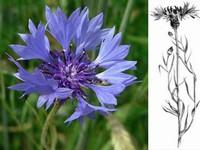 Korenbloem / Centaurea cyanus
