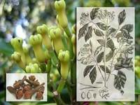 Kruidnagel / Syzygium aromaticum