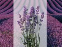 Lavendel / Lavandula  officinalis