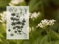 Lieve vrouwe bedstro /  Asperula odorata