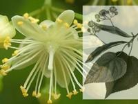 Linde bloesem / Tilia cordata