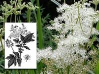 Moerasspirea / Filipenula ulmaria