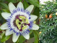 Passiebloem / Passiflora incarnata