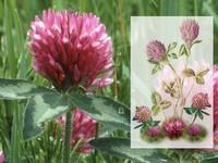 Rode Klaver / Trifolium pratense