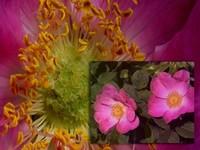Rozenblad / Rosa gallica