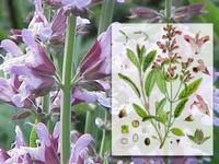 Salie / Salvia officinalis