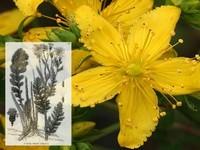 Sint janskruid / Hypericum perfoliatum