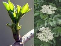 Vlier blad / Sambucus  nigra