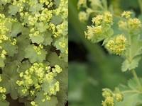 Vrouwenmantel / Alchemilla vulgaris