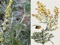 Alsem / Artemisia absinthium